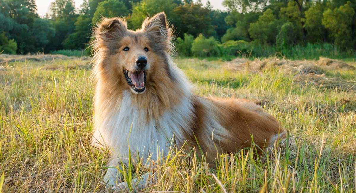 Collie - Ihr Leitfaden für den Rough Collie
