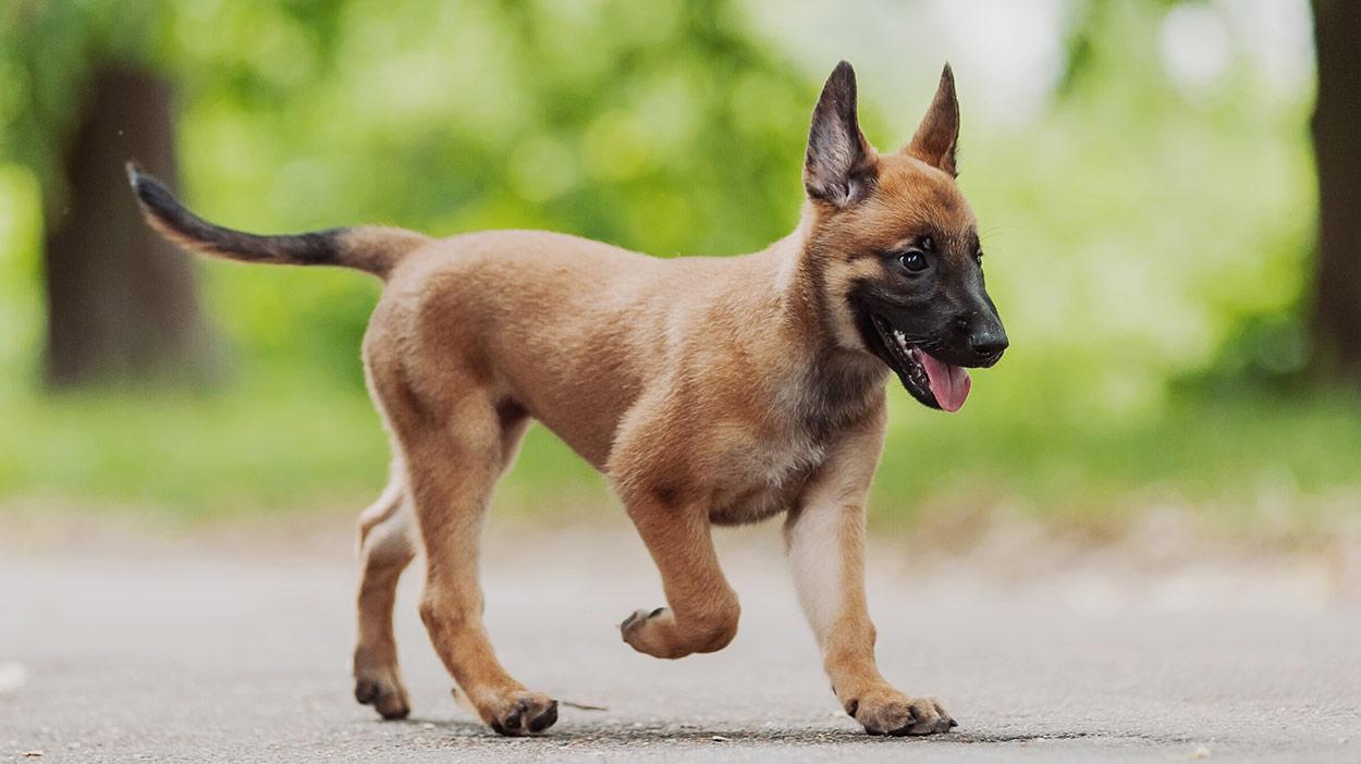 Belgische Hunderassen - die erstaunlichen Welpen, die aus Belgien kommen