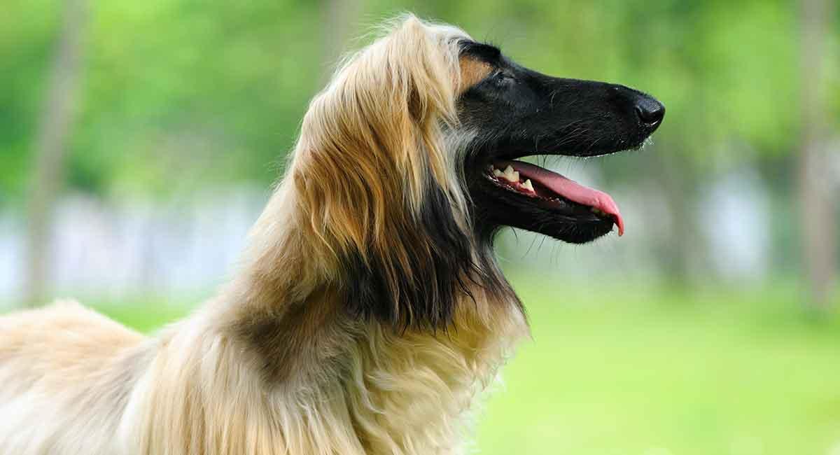 Afghanischer Windhund - Die schlanke und sanfte Rasse