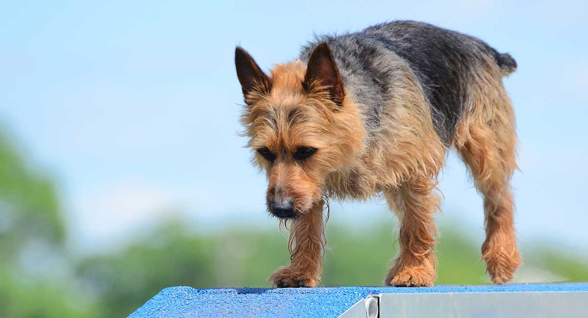 Australian Dog Breeds - Unsere Top Ten Welpen Down Under