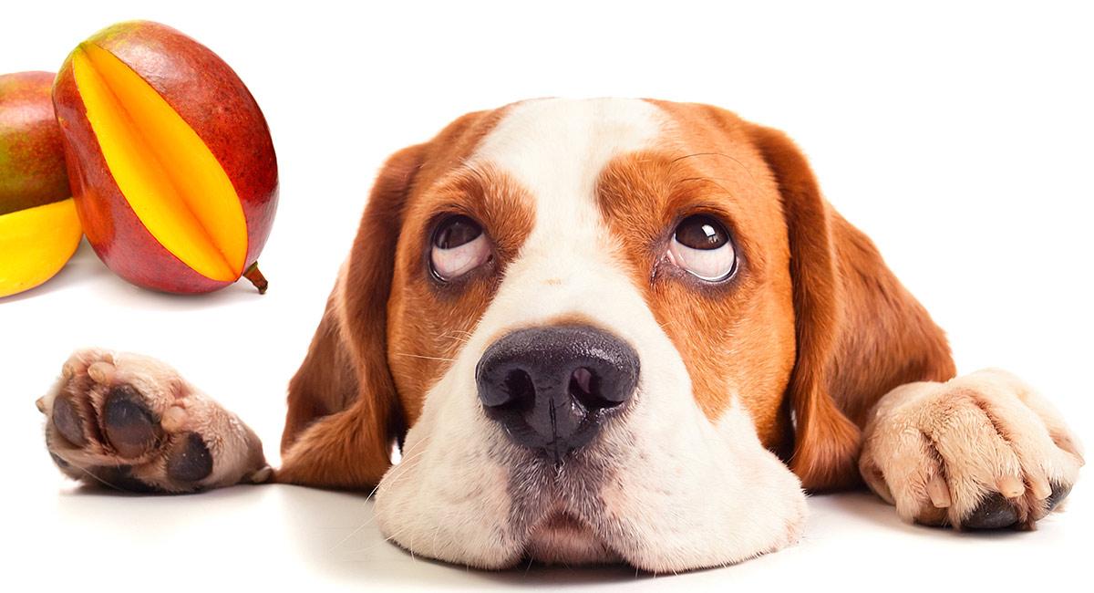Können Hunde Mango essen?