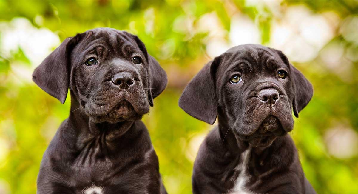 Cane Corso Dog Names - Dutzende fantastischer Ideen