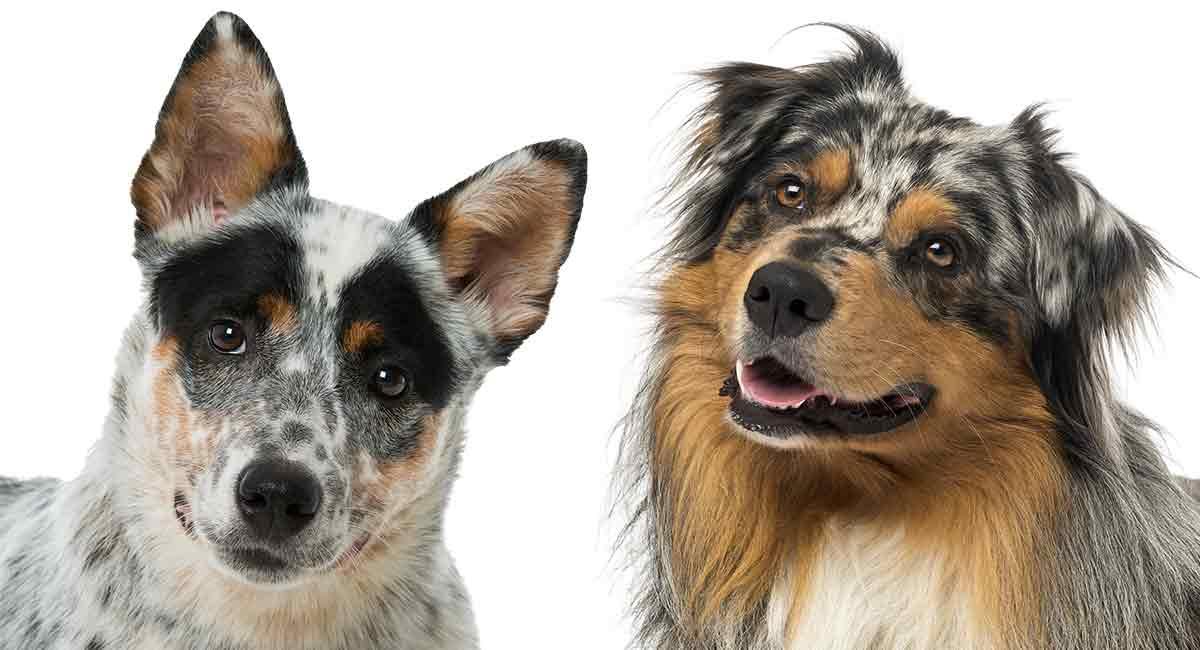Australian Shepherd Vs Australian Cattle Dog - Kannst du sie unterscheiden?