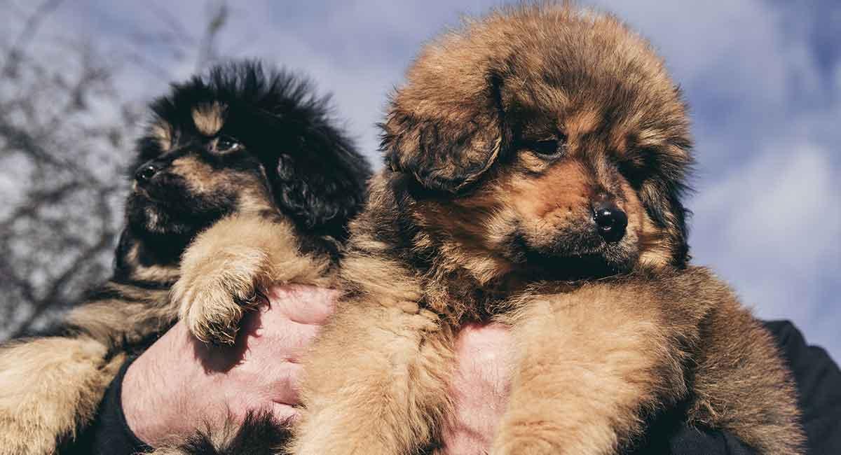 Tibetan Mastiff - Perfektes Haustier oder großer Wachhund