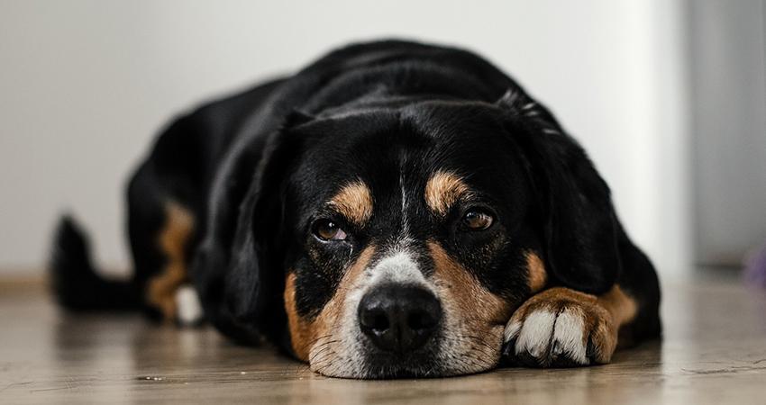 Hund Depression