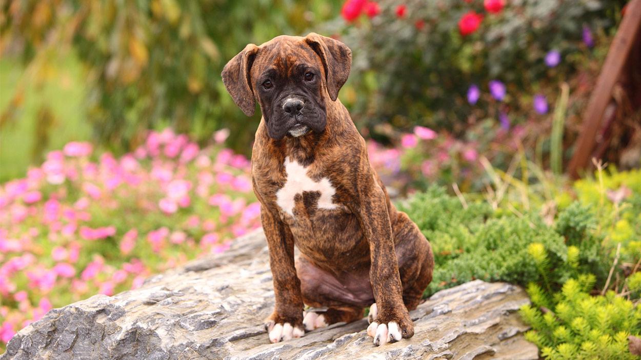 Deutsche Hunderassen - Die größten deutschen Haustierhündchen