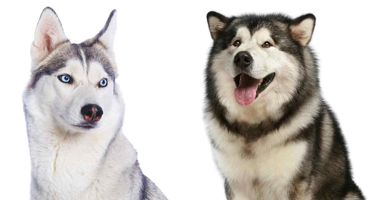 Alaskan Malamute vs Siberian Husky - zwei ähnliche, aber unterschiedliche Rassen