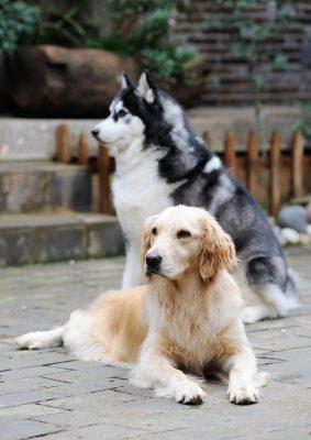 Golden Retriever Husky Mix - Lernen Sie den geliebten Goberianer kennen