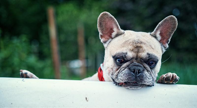 Französischer Bulldogge-Preis - Was kostet ein Frenchie?