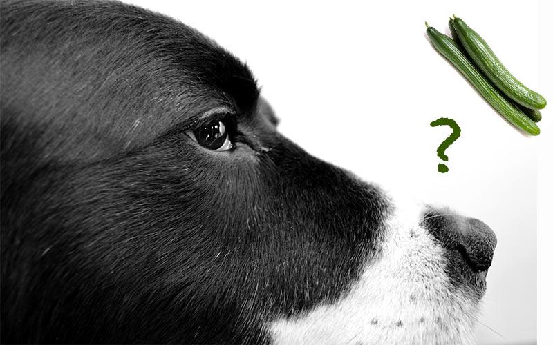 Können Hunde Gurken haben?