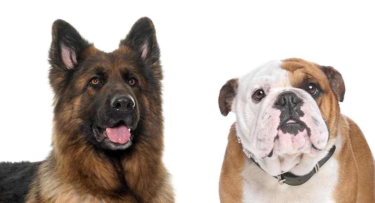 Deutscher Schäferhund Bulldog Mix - Amerikanische Bulldogge und GSD kombiniert