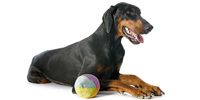 141 Perfekte Dobermann-Namen - süß, hart, hartnäckig und mehr