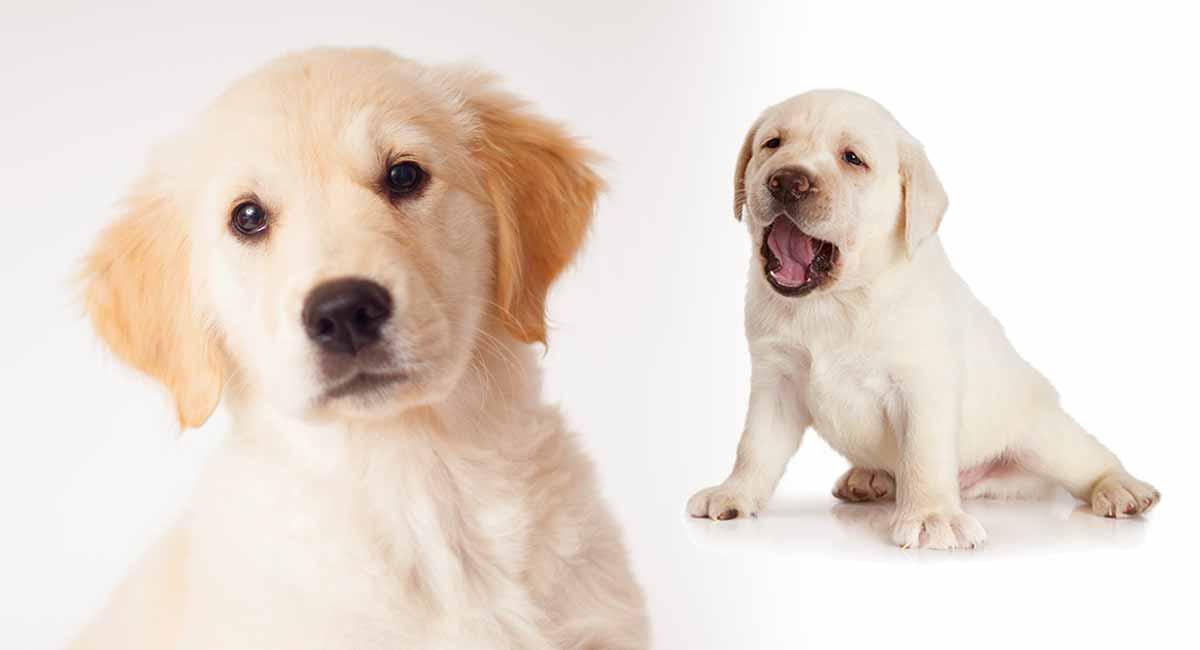 Goldador: Der Golden Retriever Labrador Retriever Mix