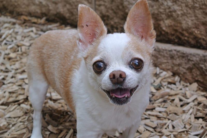Über 150 perfekte Chihuahua-Namen