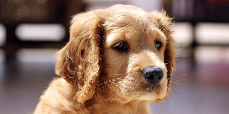 Dog Breed Selector: Welchen Hund soll ich bekommen?
