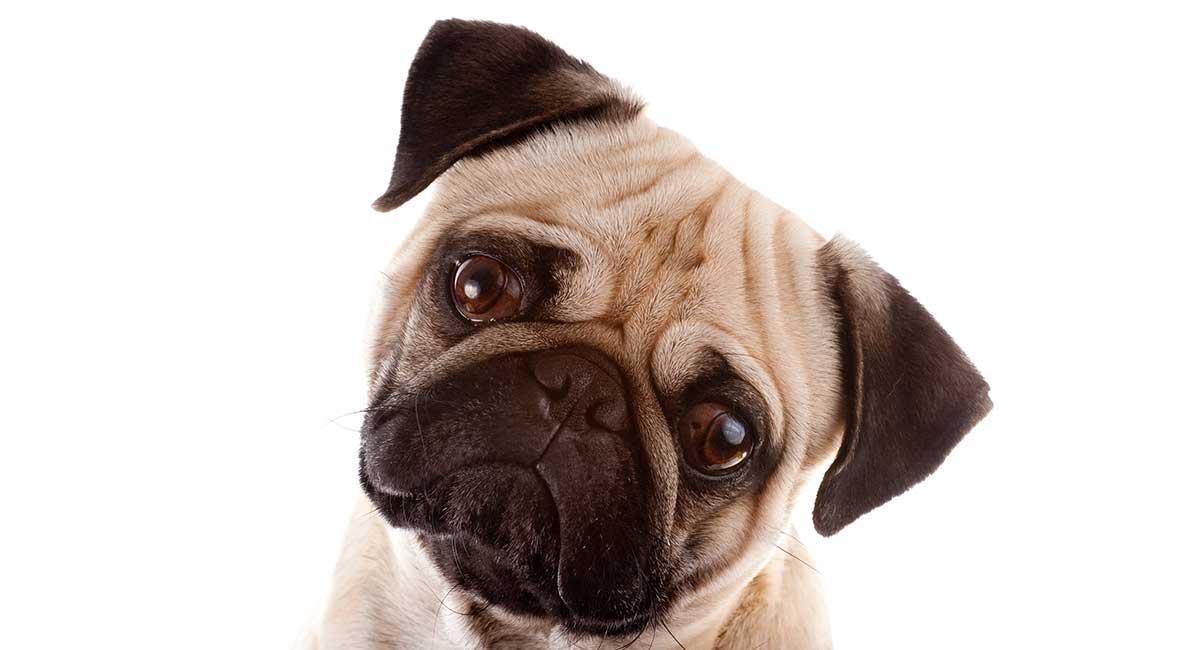 Fawn Pug Facts - Die blasse Mopsfarbe