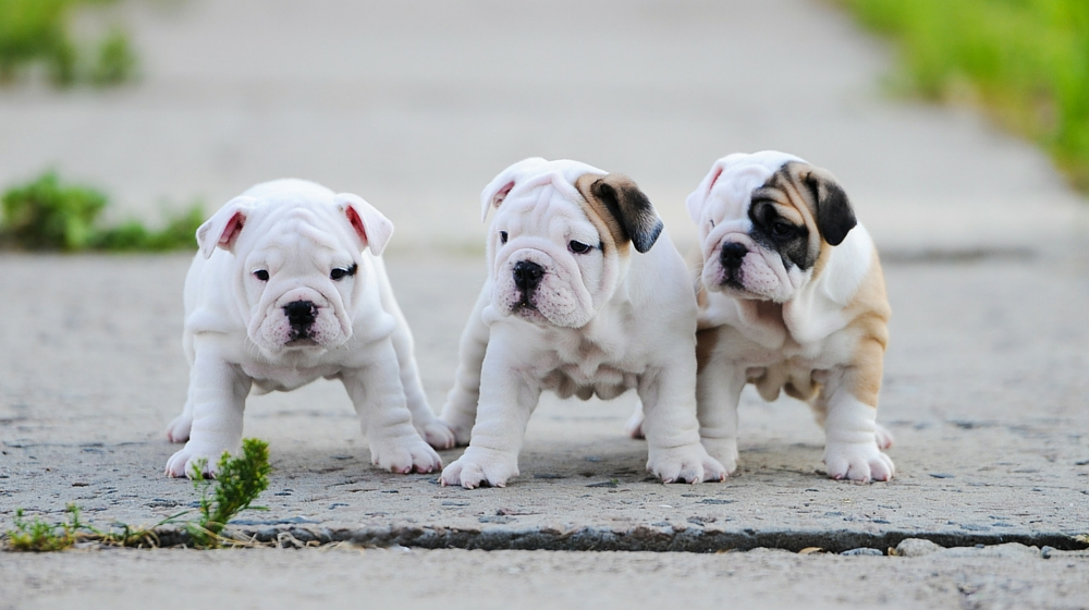 Hunderassen - 8 Dinge, die Sie bei der Auswahl Ihres Welpen vermeiden sollten