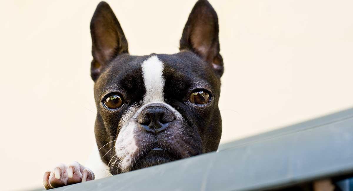 Boston Terrier - Ist das die richtige Rasse für Sie?