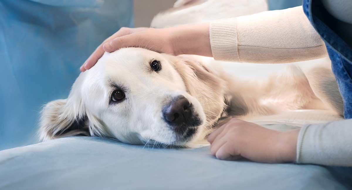 Kataraktoperation für Hunde: Was Sie erwartet