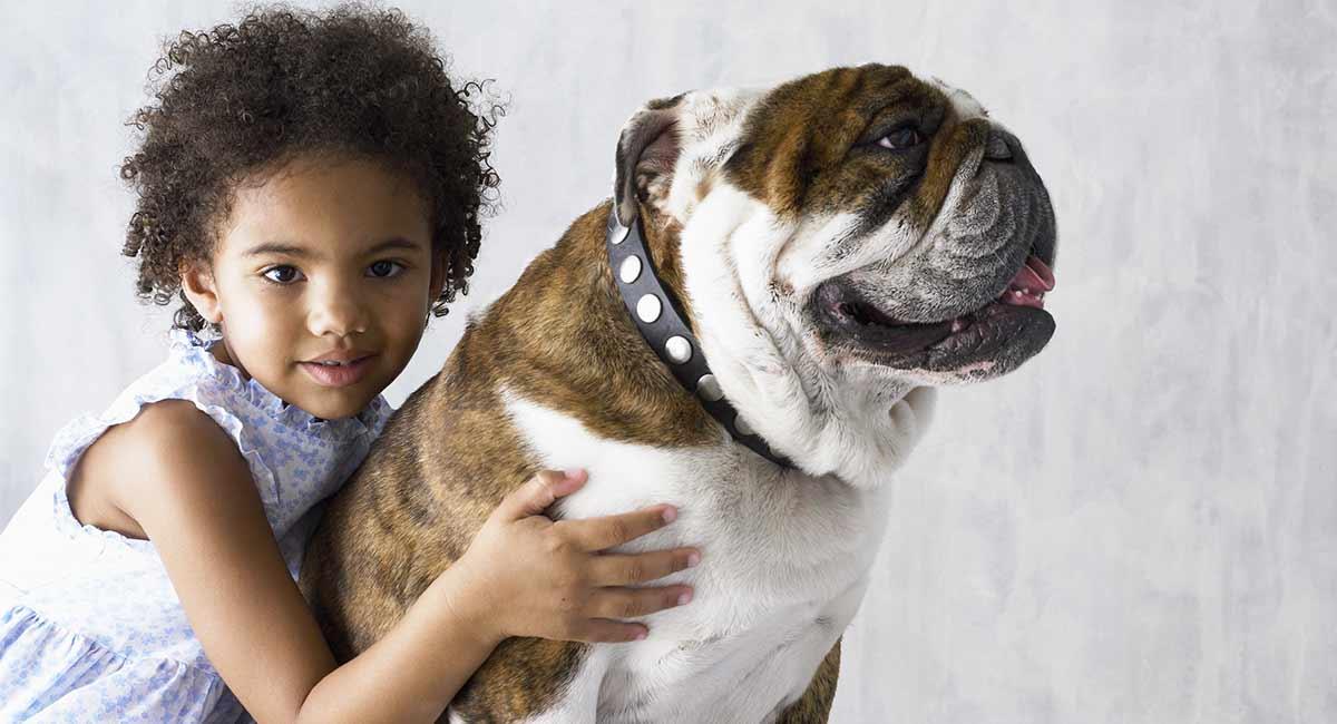 Wie groß werden englische Bulldoggen?