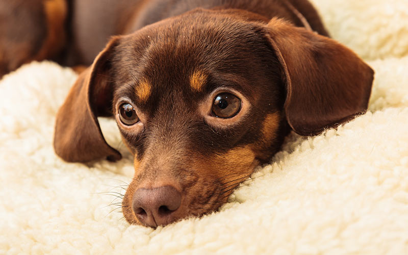 Chihuahua Dackel Mix - Ein Leitfaden für die Chiweenie