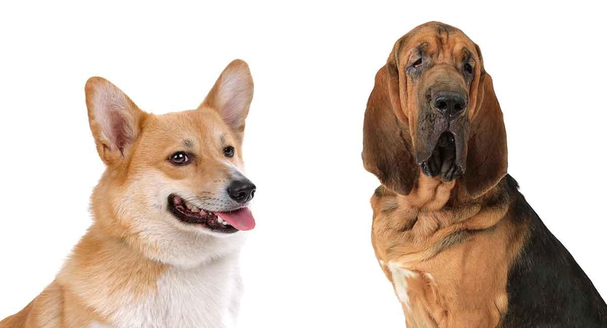 Corgi Bloodhound Mix - Zwei sehr unterschiedliche Rassen kombiniert