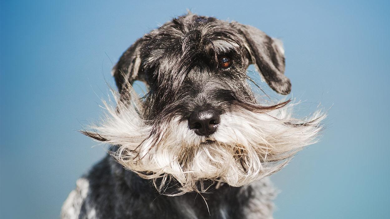 Hunde mit Bärten - Schaukeln der Gesichtsbehaarung, Doggy Style