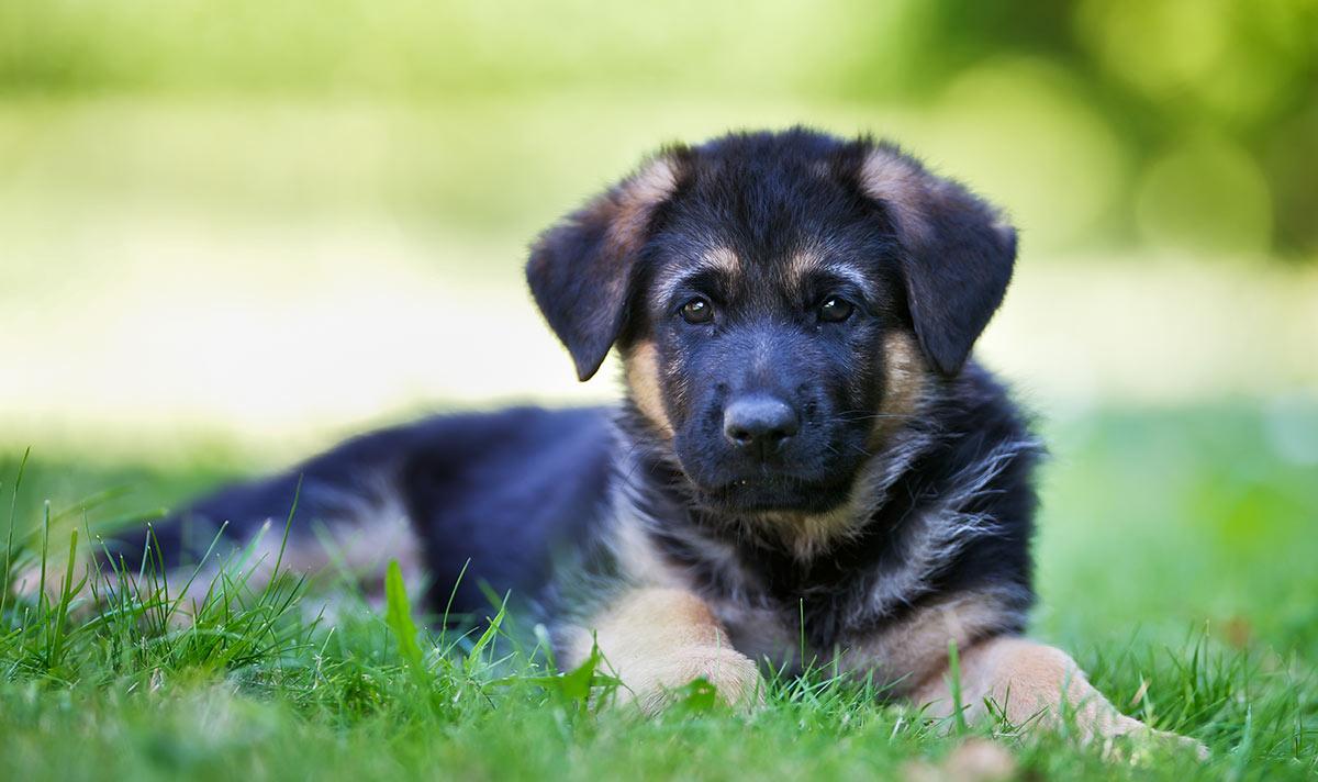 Wie man einen Welpen aus einem Tierheim adoptiert