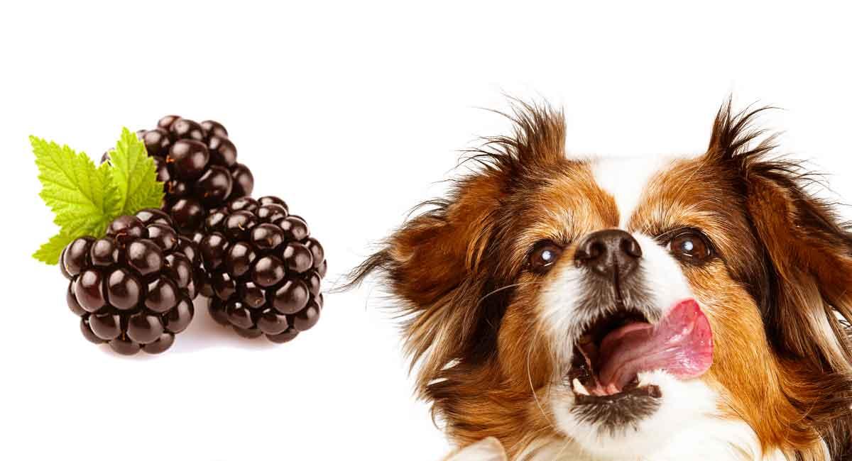 Können Hunde Brombeeren als antioxidativen Laden-Snack haben?