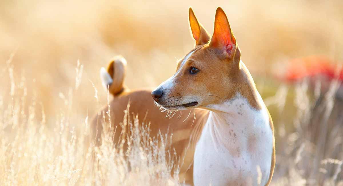 Basenji - Eine einzigartige und alte Hunderasse