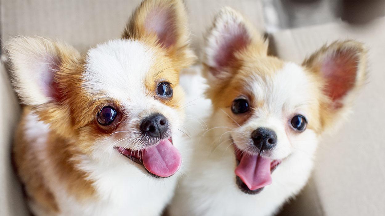 Toy Dog Breeds - Welcher kleine Welpe solltest du mit nach Hause bringen?
