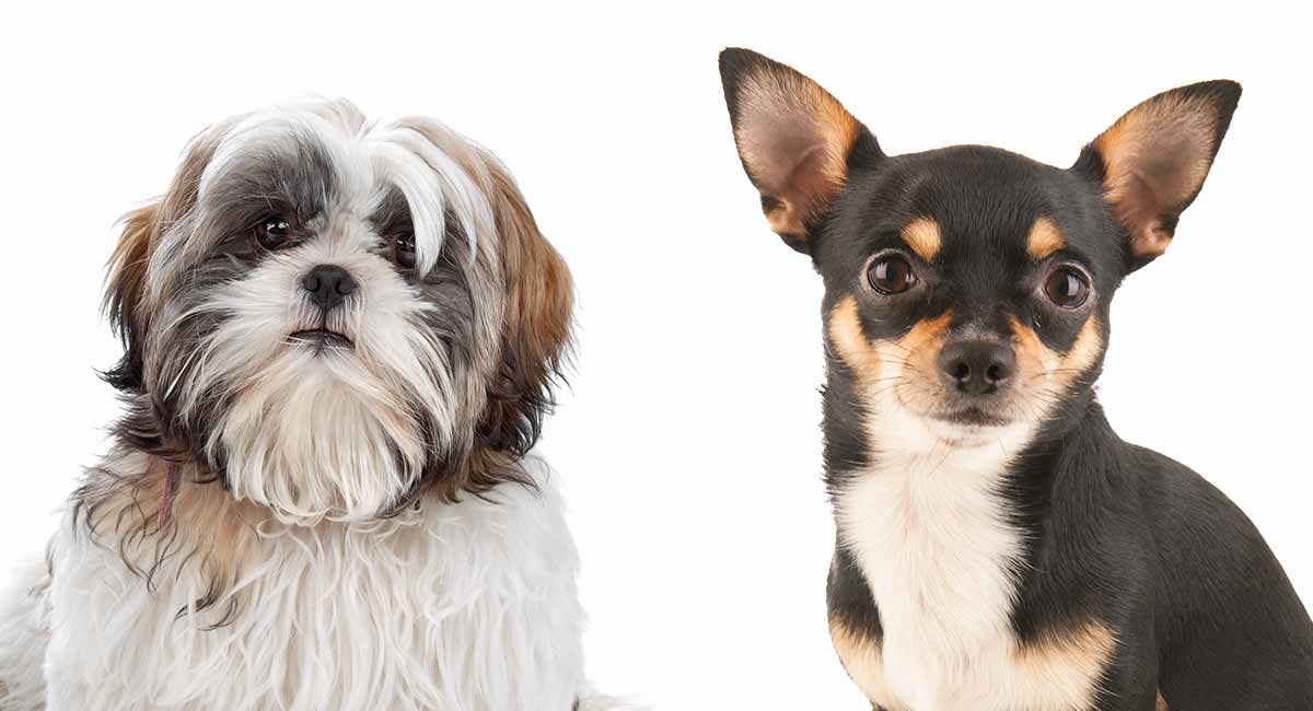 Chihuahua vs Shih Tzu - Welches kleine Hündchen ist das Richtige für Sie?