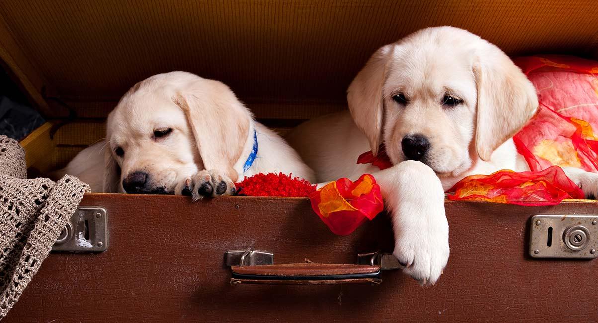 Inzuchthunde: Die Fakten über reinrassige Hunde und Inzucht