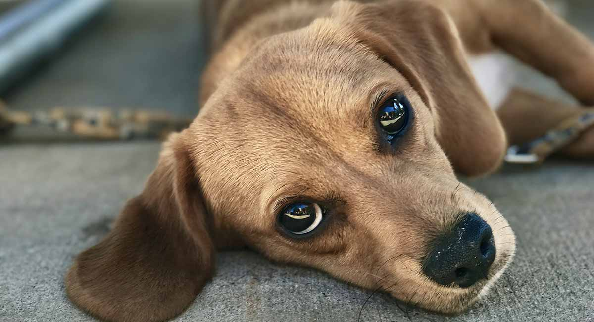 Lecken Sie Granulom bei Hunden - Zeichen und Behandlungen