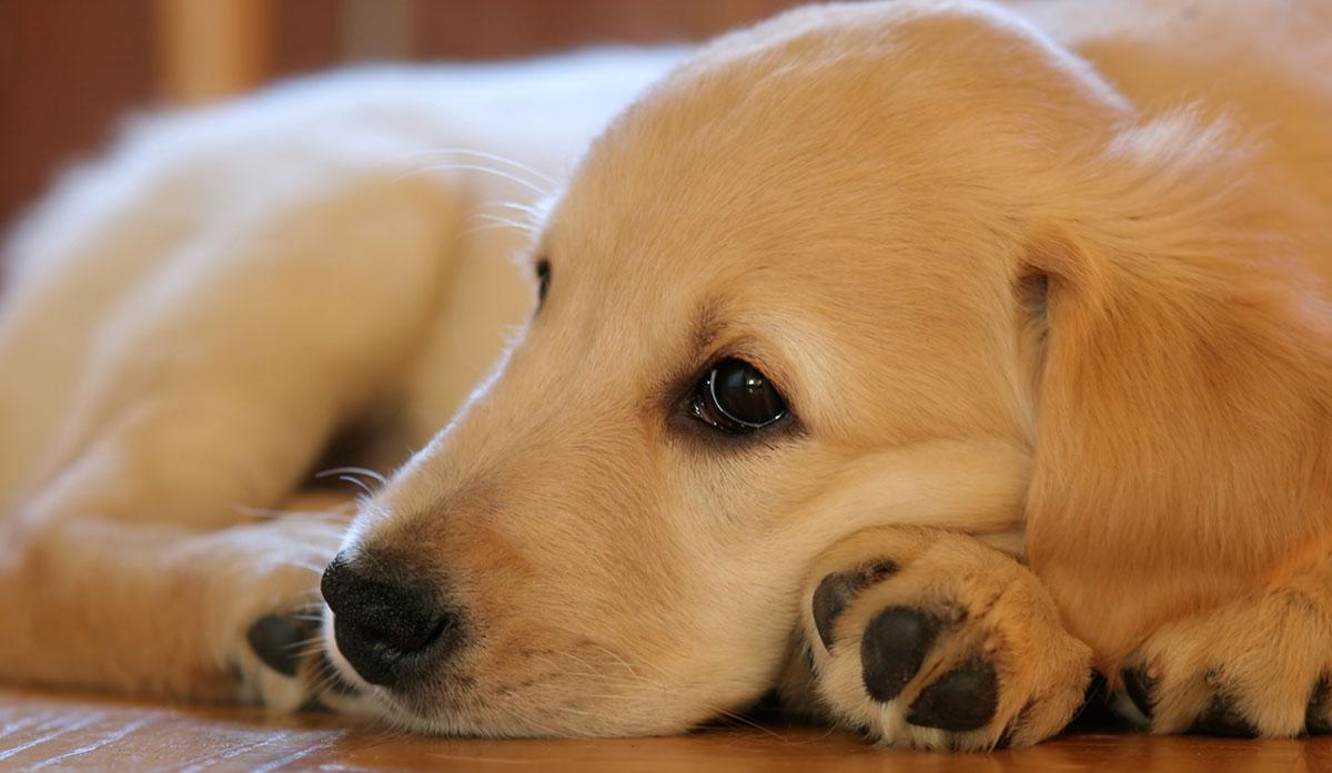 Von-Willebrand-Krankheit bei Hunden
