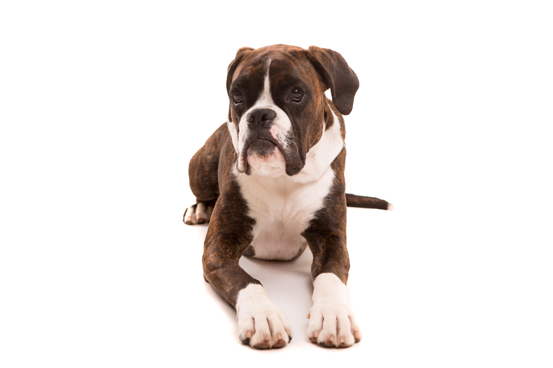 Beste Hunde für die ersten Welpen Eltern zu besitzen