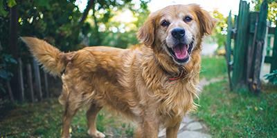 Golden Retriever Corgi Mix - Ein einzigartiger Designerhund