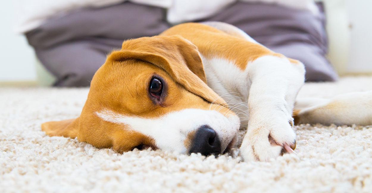 Zitronen-Beagle