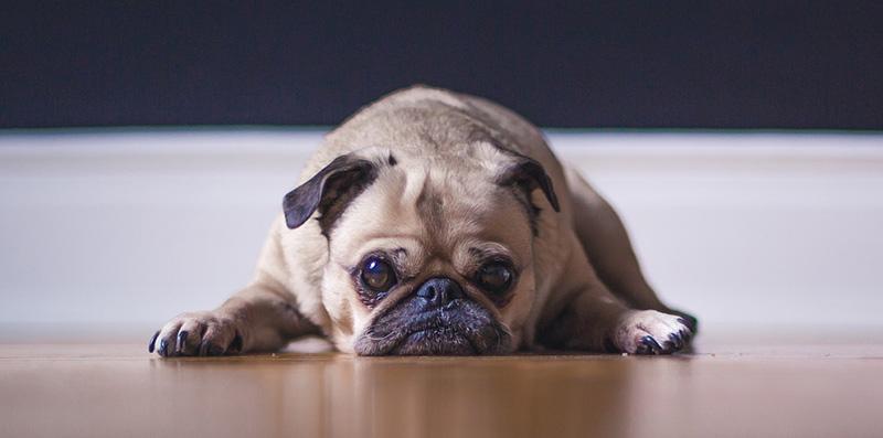 Mops Price - Wie viel kostet das Doggy im Fenster?
