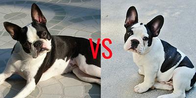 Boston Terrier gegen französische Bulldogge