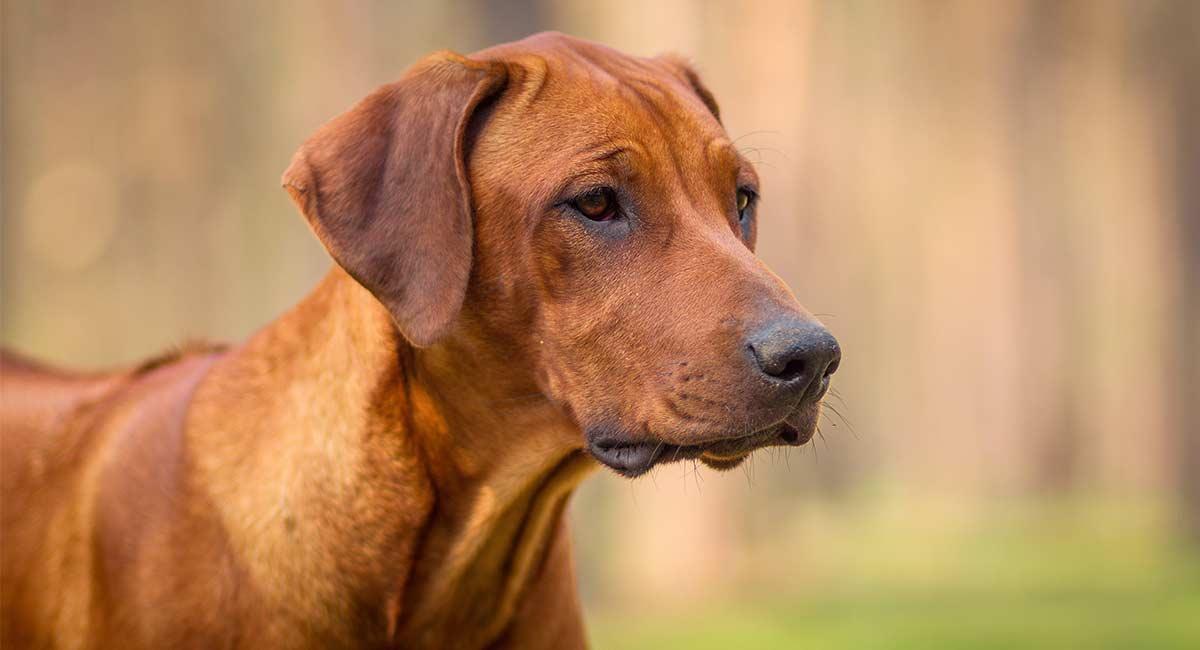 Afrikanische Hunderassen: Die schönen Welpen Afrikas