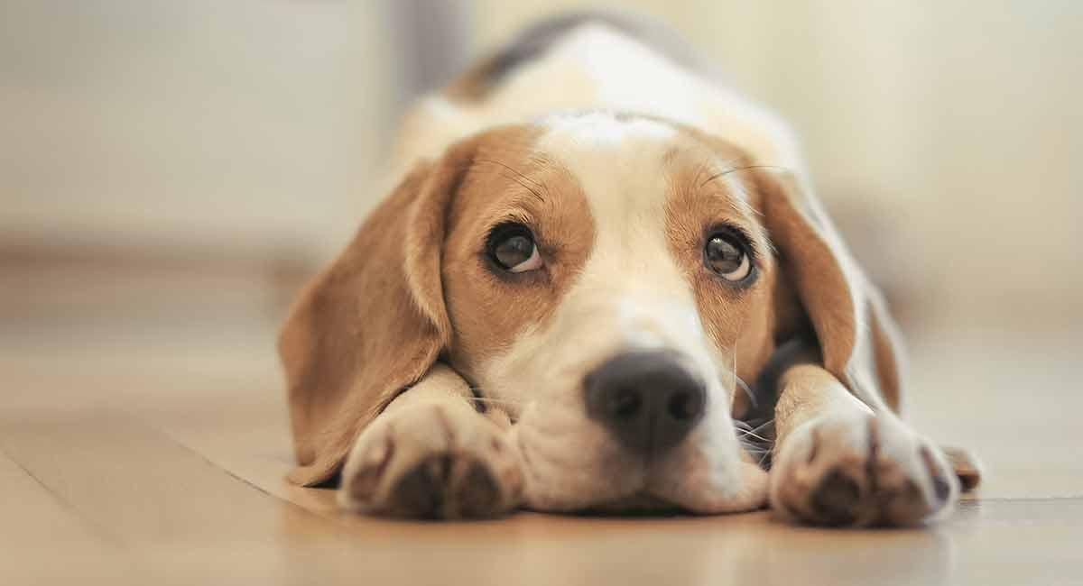 Bestes Welpenfutter für Beagles