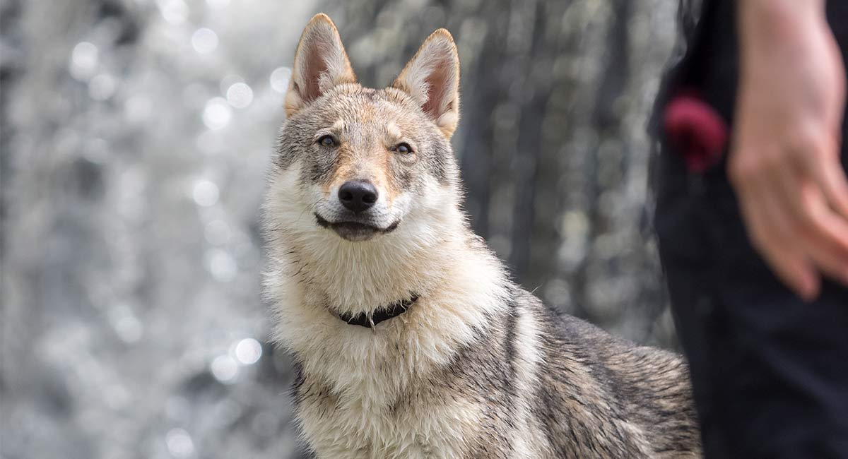 Der Wolfshund - Bist du bereit für einen wirklich wilden Hund?