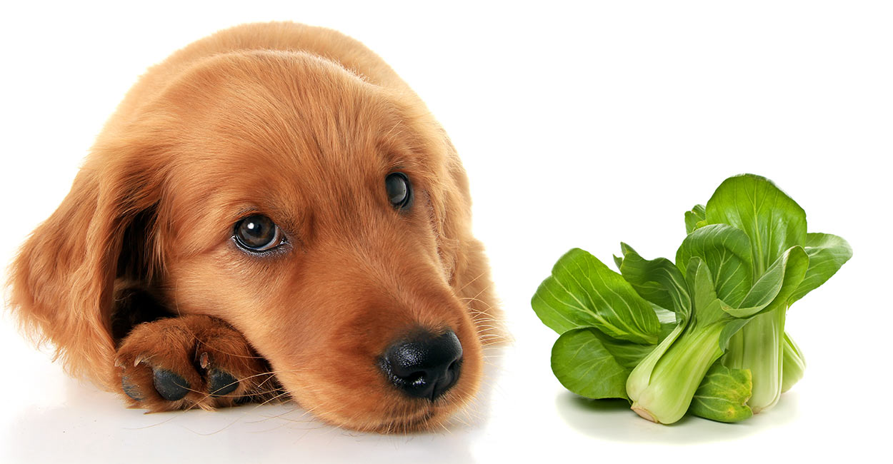 Können Hunde Bok Choy essen