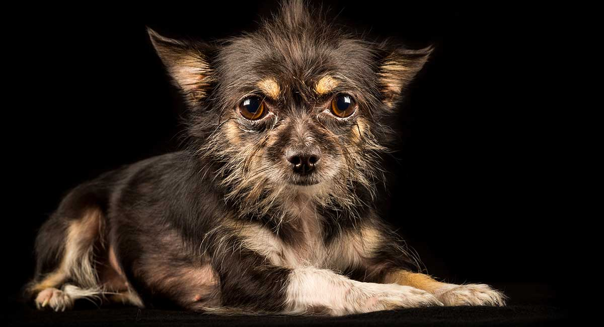 Chihuahua Terrier Mix - was Sie erwartet