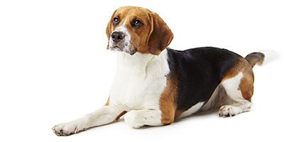 Beagle-Preis - Wie viel kostet diese beliebte Rasse?