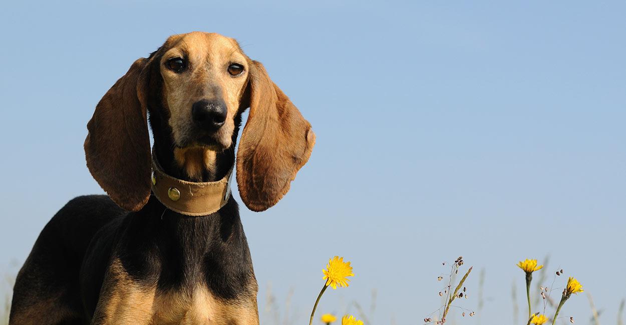 Hunde mit langen Ohren - die entzückend schlaffen Haustiere, die Ihre Familie lieben wird