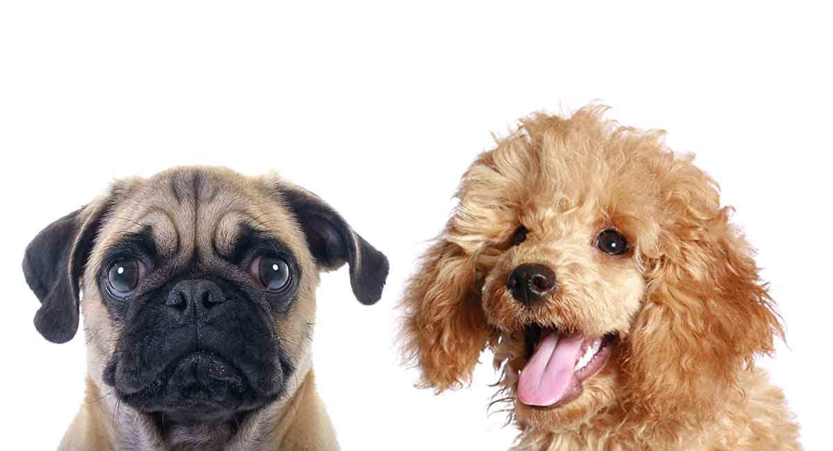 Pugapoo - Der Pug Pudel Mischling