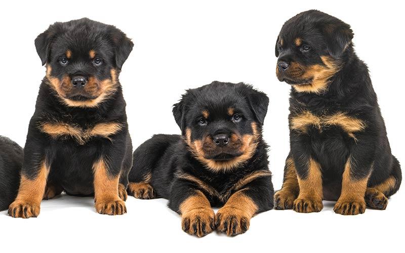 Rottweiler Names - 100 tolle Ideen für die Benennung Ihres Rottie