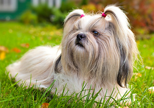 18 Beste hypoallergene Hunderassen, wenn Sie Allergien haben